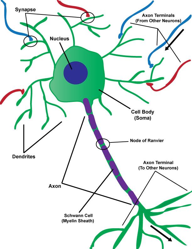 Neurons dr simon says science figure 1 diagram of a neuron ccuart Choice Image