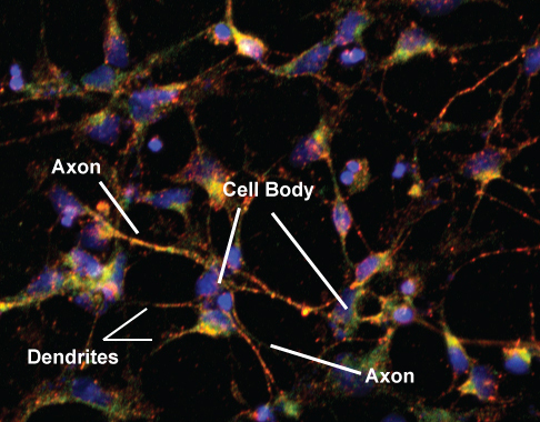 Real Mouse Neurons. Diagram of important neuronal structures.
