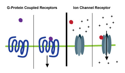 Two Types of Neurotransmitter Receptors.
