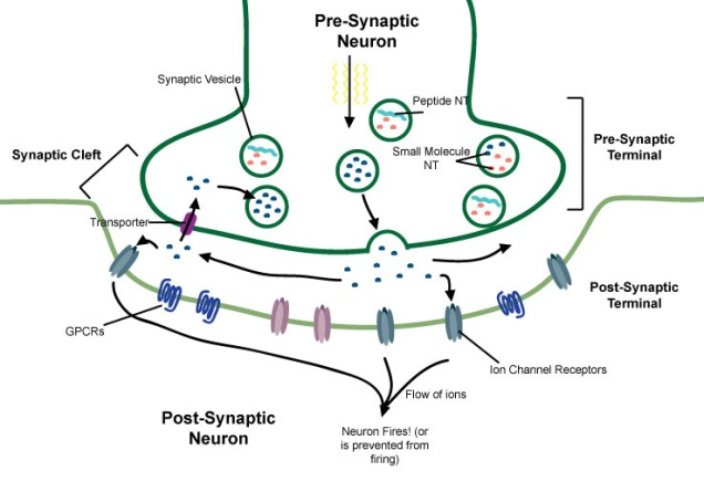 The Synapse.