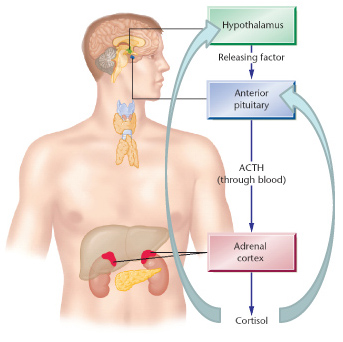 The Hypothalamic-Pituitary-Adrenal (HPA) Axis