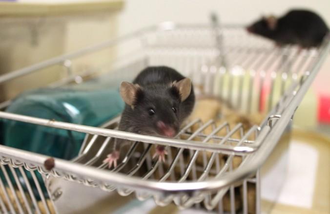 Lab Mice IMG_4102