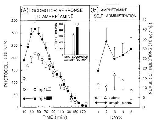 Figure 1: Behavioral sensitization to amphetamine. Locomotor activity test (left panel) and self-administration (right panel).