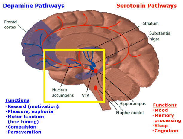 """Dopamineseratonin"". Licensed under Public Domain via Wikipedia."