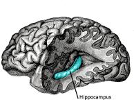 Human Hippocampus (www.wikipedia.org)