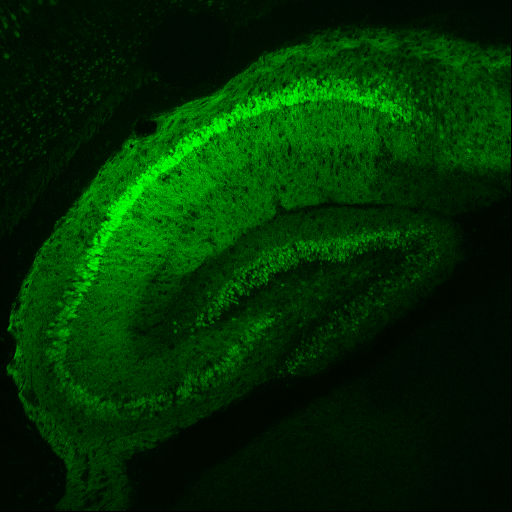 Image of the structure of the mouse Hippocampus (Image courtesy of www.gensat.org).