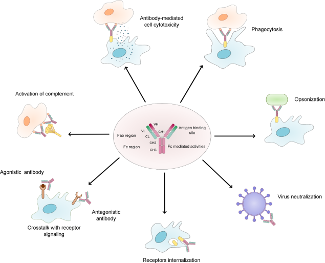 Functions of antibodies in the immune system