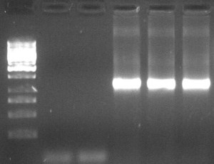 Example of RT-PCR results