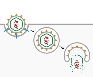Viral_entry_(Endocytosis_and_fusion).svg